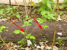 Размножение ремонтантной малины корневыми отпрысками