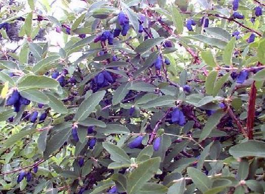 Кустарник с синими листьями.
