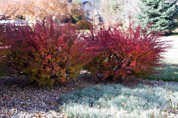 Барбарис фото, как использовать барбарис в дизайне сада