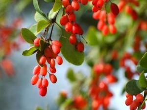 Красные плоды барбариса.