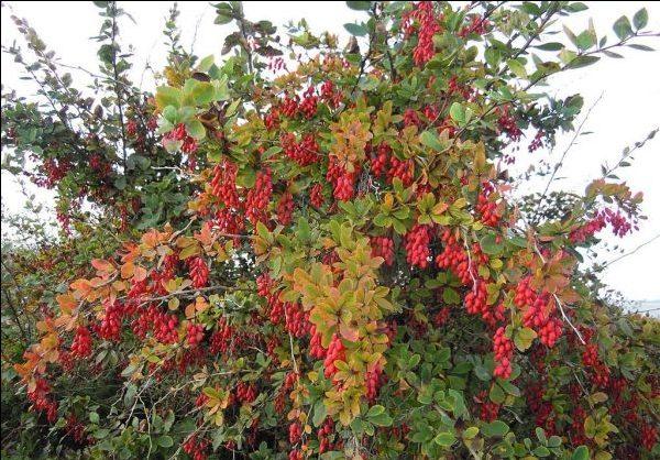 Барбарис посадка и уход, как вырастить барбарис из семян