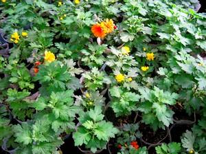 Зацветающие черенки хризантем