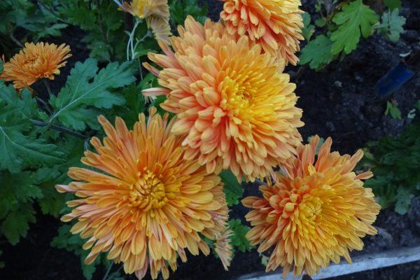 Кустовые хризантемы, посадка и уход