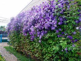 Сажаем вьющиеся растения у стены.