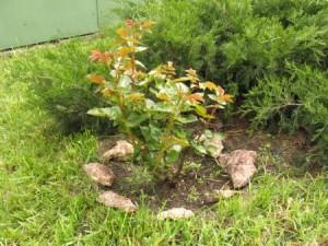 Как раскрывать перезимовавшие растения весной