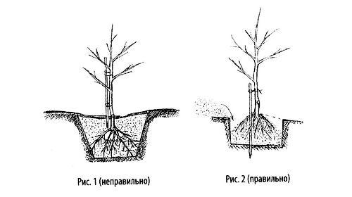 Сажаем дерево правильно