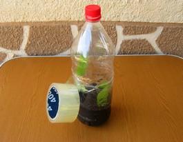 Укоренение клематиса в бутылках.