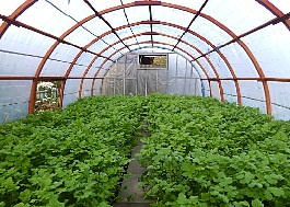 Выращивание сидератов в теплице.