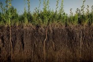 Посадка и выращивание сидератов.