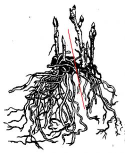 Размножаем клематис делением куста.