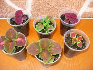 Выращивание цветов семенами.