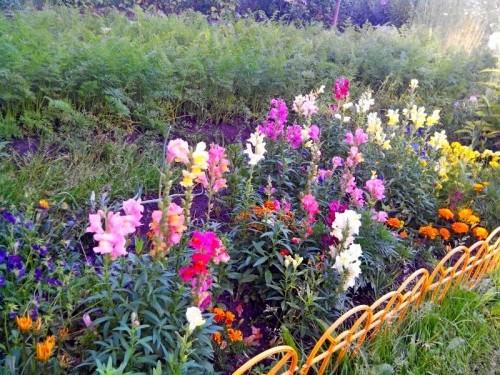 Такие цветы вырастили в саду.