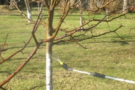 Парша яблони и груши
