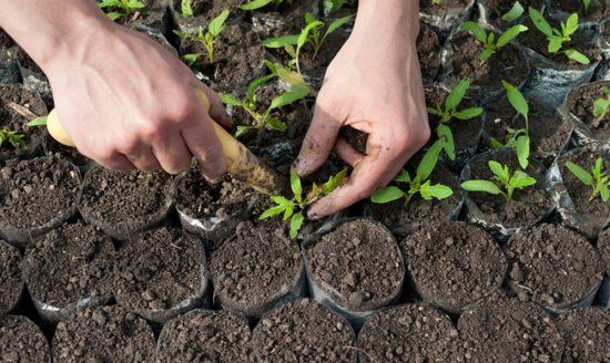Пикирование растений
