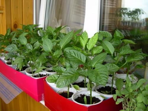 Выращивание перца через рассаду.