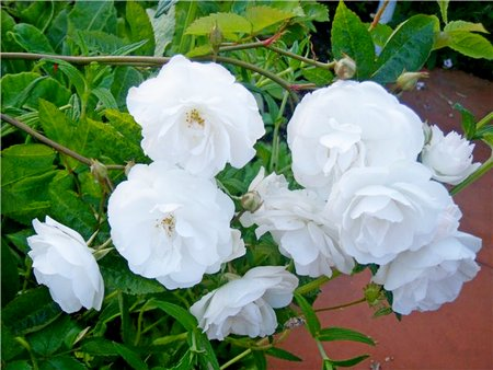Белые цветы.