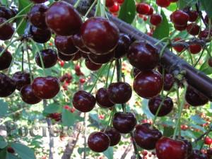 Выращиваем дюк сорт Ивановна