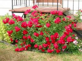 Как сажать розы.