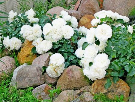 Цветы среди камней.