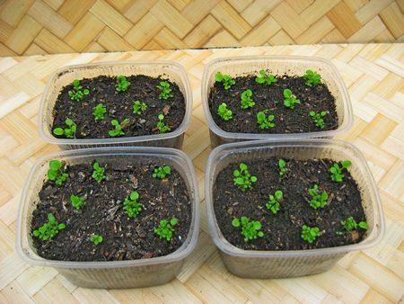 Выращивание лобелии из семян.