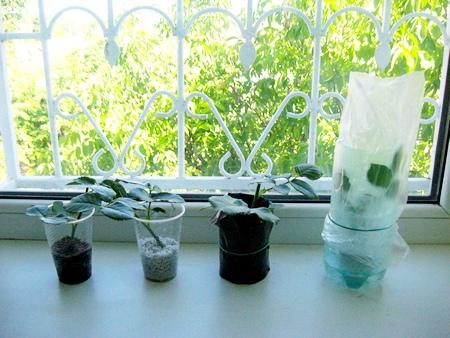 Черенкование роз в домашних условиях