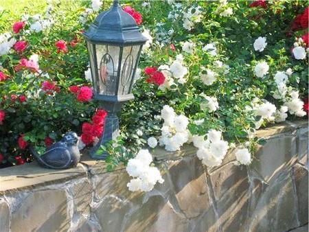 Посадка и уход за почвопокровными розами.