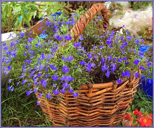 Выращивание синей лобелии.