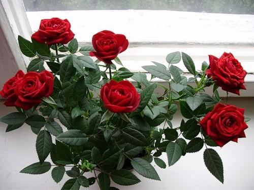 Размножаем розы черенкованием.