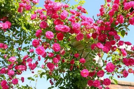 Посадка плетистых роз, уход, обрезка.