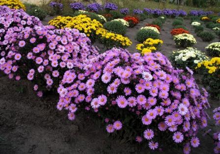 Вот такие цветы вырастили из семян.