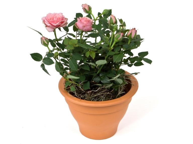 Уход за домашней розой в горшке в домашних условиях 578