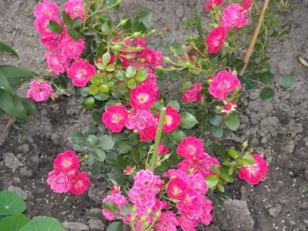 Уход за почвопокровными розами.