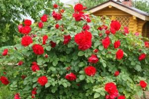 Как ухаживать за розами.
