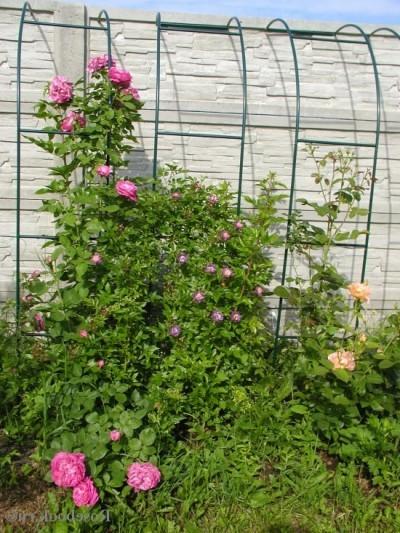 Вьющаяся роза уход и выращивание