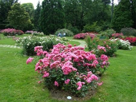 Уход за розами флорибунда.