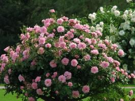 Разновидности парковых роз.