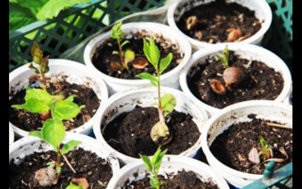 Как посадить абрикосу из косточки в домашних условиях