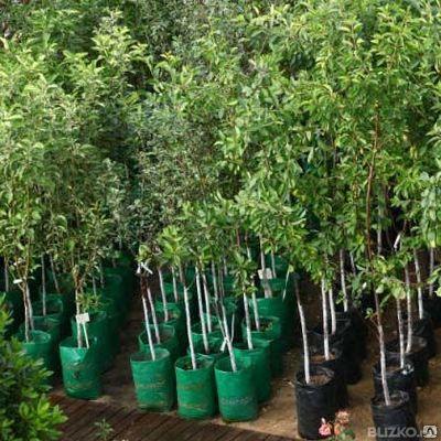 Растения с закрытой корневой системой.