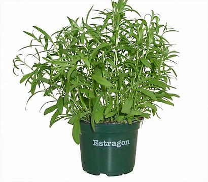 Как вырастить эстрагон в домашних условиях из семян