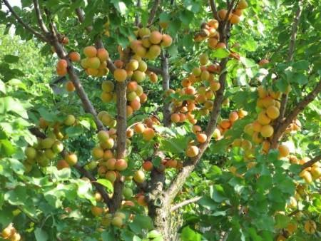Выращивание и уход за абрикосами.