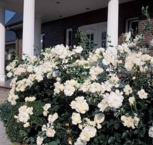 Ухоженные цветы возле дома.