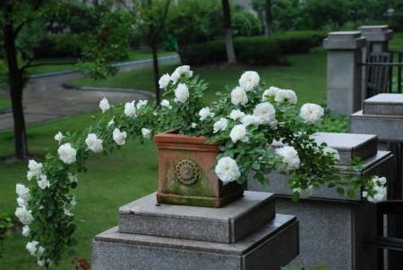 Посадка роз в контейнеры и вазоны.