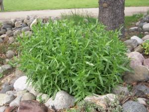 Выращиваем эстрагон на огороде.