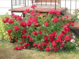 Роза парковая.