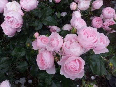 Результат пошуку зображень за запитом роза флорибунда