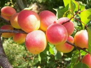 Выращивание абрикосов в саду.