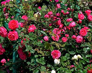 Сорта роз парковых