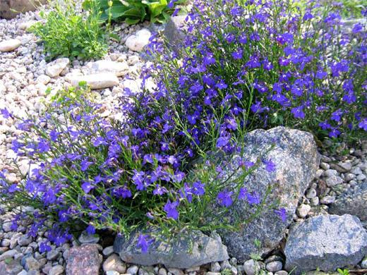 Лобелию часто выращивают среди камней.