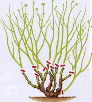 Схема обрезки роз флорибунда.