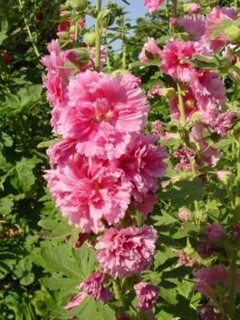 Цветок шток роза ( мальва).